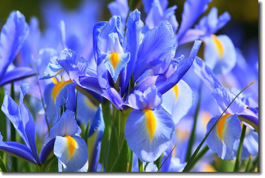 鸢尾花的花语和传说