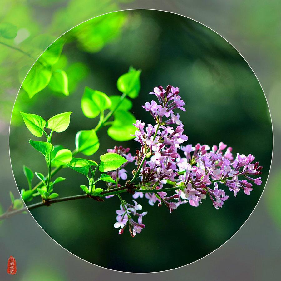 丁香花的花语和观赏文化价值,你知道它的传说吗?