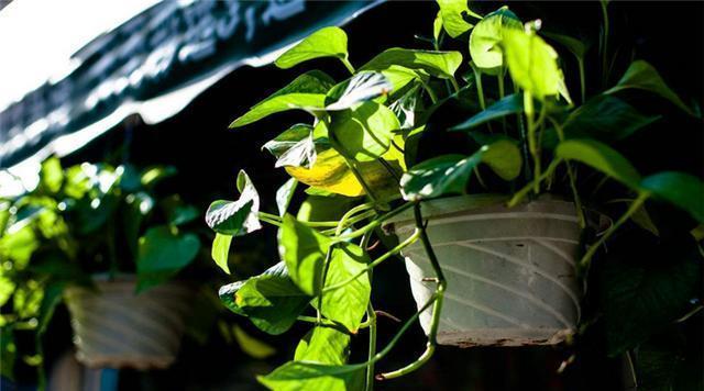 绿萝出现根腐烂,叶子发黄等病症该怎么办?