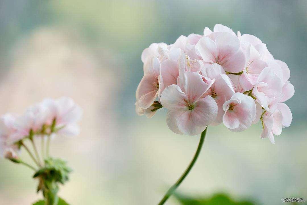 夏季天竺葵黄叶的原因和解决办法,它是怎么度过夏天的?