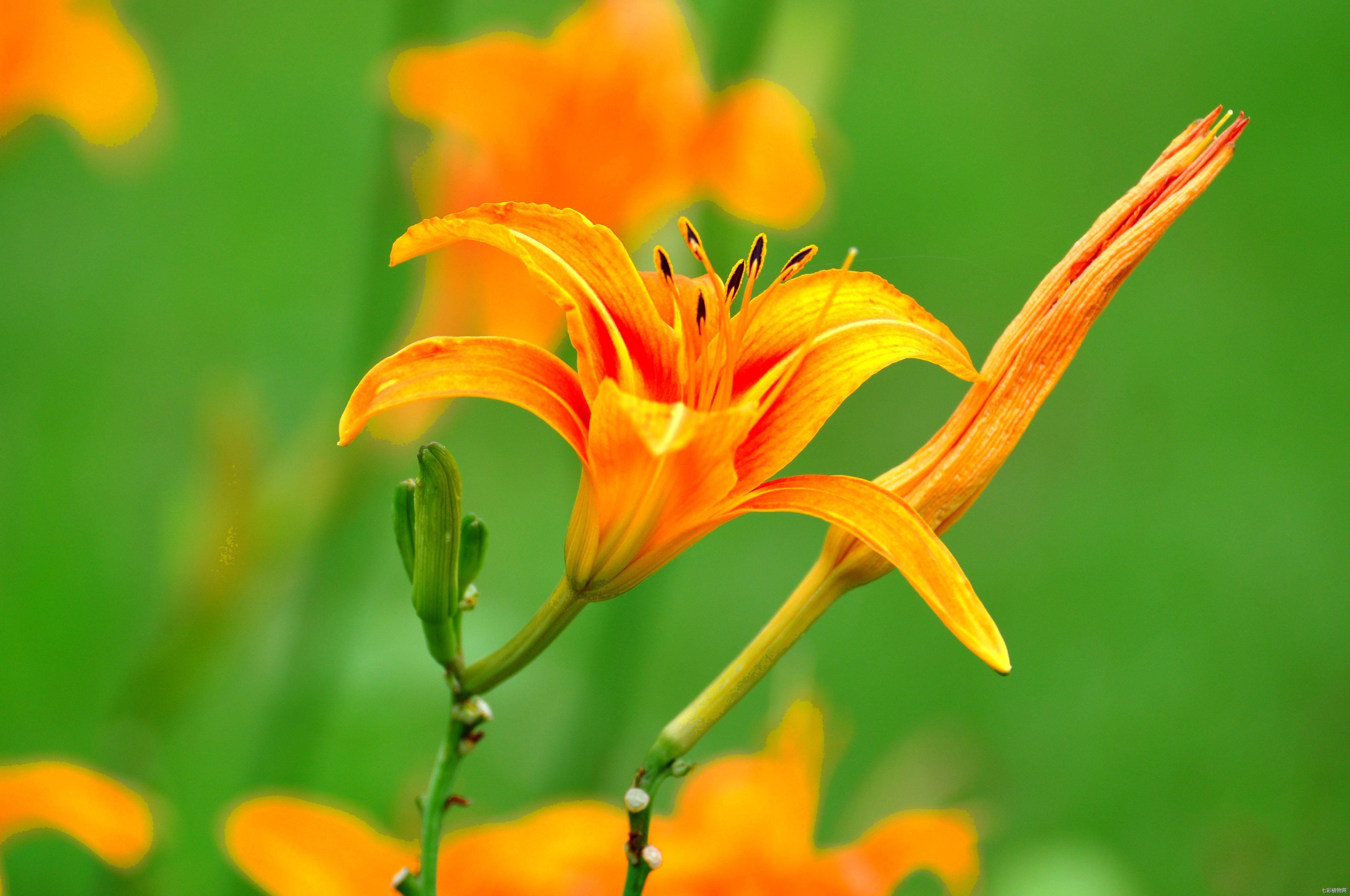 萱草为什么又名忘忧草,该如何种植养护?