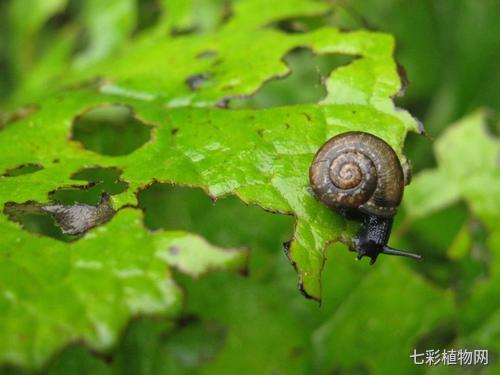 花园里的害虫蜗牛该怎么预防?