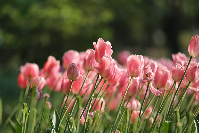如何种植郁金香,郁金香的最佳花期是什么时候?