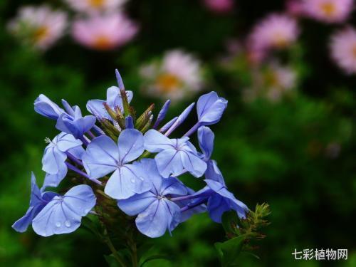 蓝雪花的种植方法