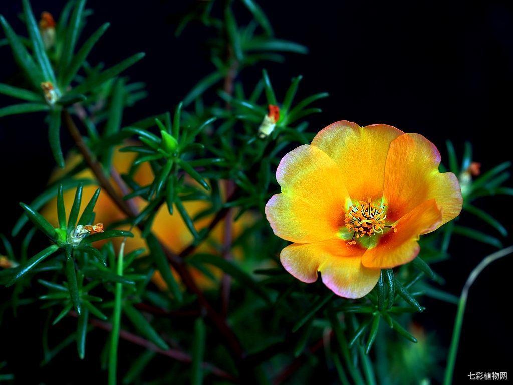 太阳花的种植方法