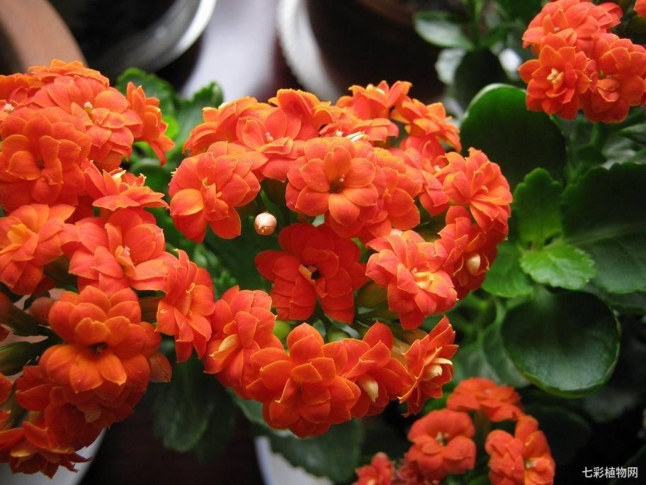 长寿花该如何种植才能开花时间更长,开出更多的花?