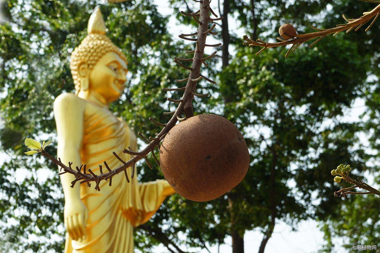 菩提树的宗教文化和人文背景是什么,它又有什么价值?