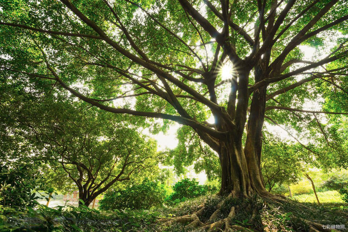 菩提树的生长习性