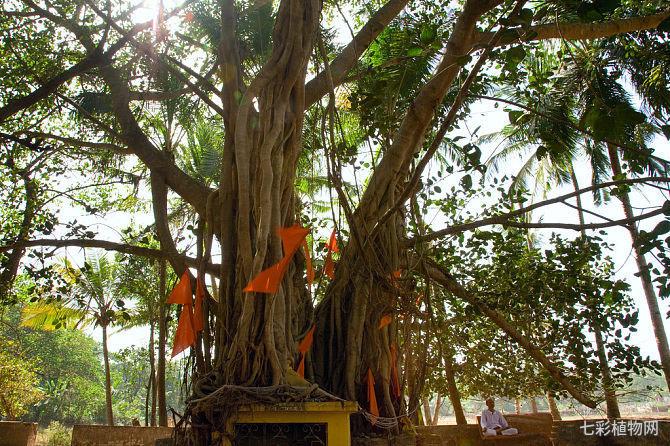 菩提树的栽种方法