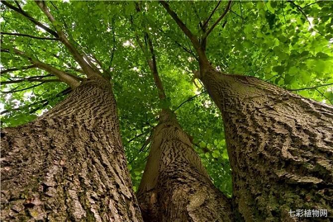 菩提树该如何种植,如何养护以及如何防治病虫危害?