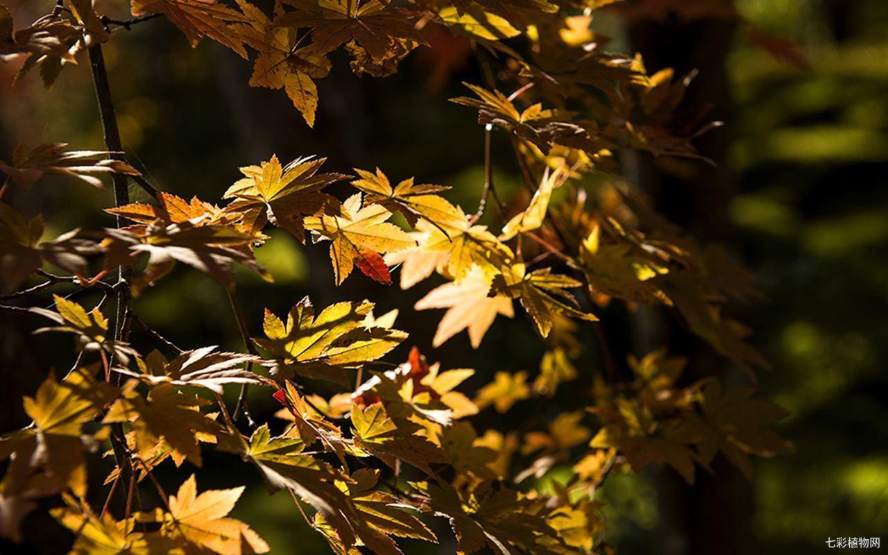 枫叶最佳观赏期