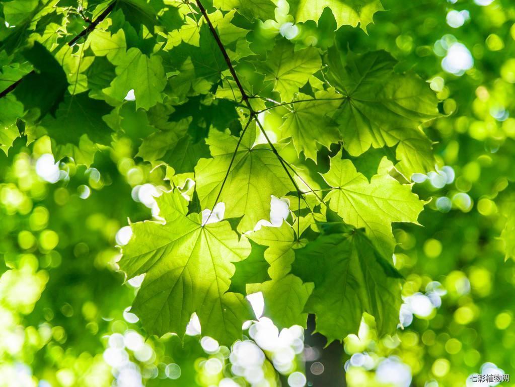 枫树的种植方法