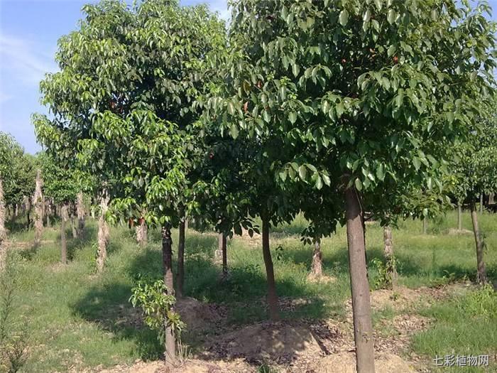 樟树有什么作用,主要分布在哪些地区?