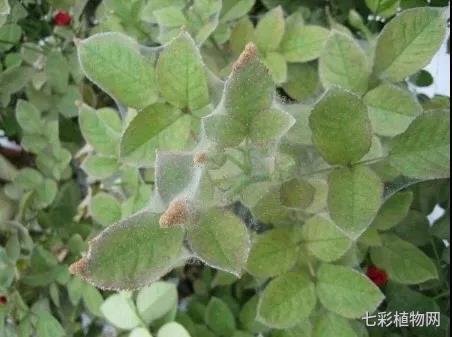 月季红蜘蛛危害
