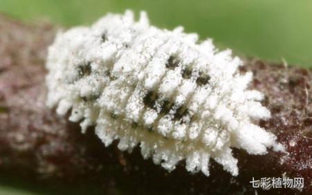 月季蚧壳虫