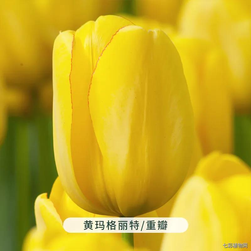 黄玛格丽特-重瓣-郁金香
