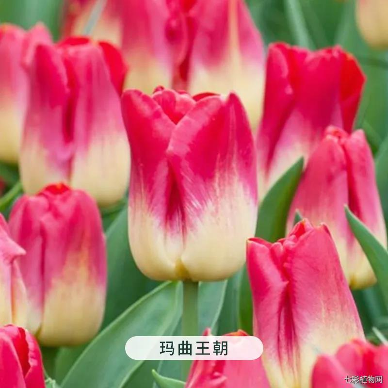 玛曲王朝-郁金香
