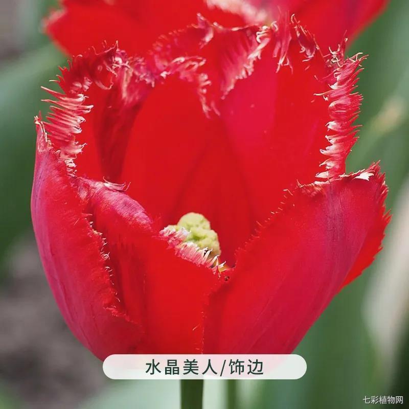 水晶美人-郁金香