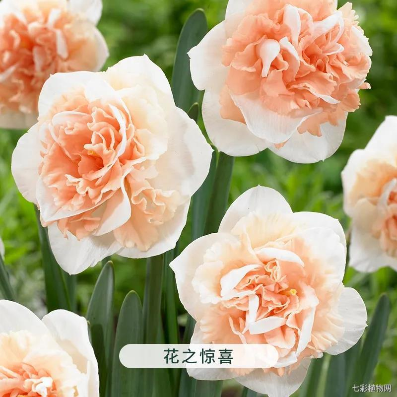 花之惊喜-洋水仙