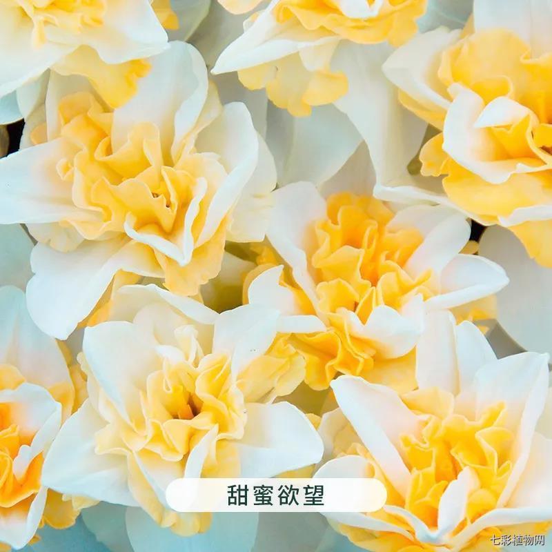 甜蜜欲望-洋水仙