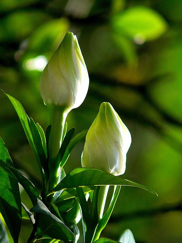 种植栀子花