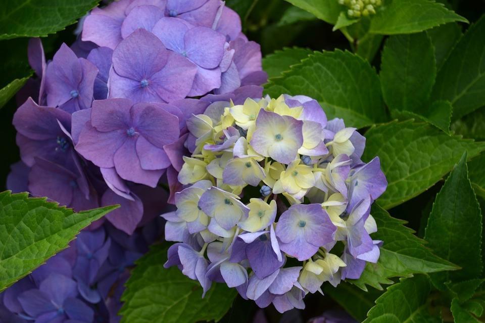 绣球花日常养护及怎么调色调蓝的操作方法