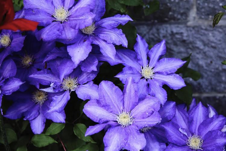 铁线莲的种植与养护