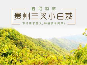 白及种苗 贵州紫花三叉小白及种苗批发 块茎1.5公分以上 自然环境生长 成活率高