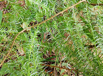 贵州本地天冬苗 植株完整 成活率高 基地直供