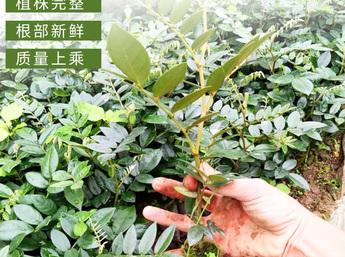 山豆根苗 岩苦参苗 苦参苗 原生态/仿野生山豆根种苗 自然环境生长 成活率高