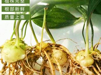 黄精种苗 老虎姜种苗 黄精种苗批发 原生态云南红花大黄精种苗价格