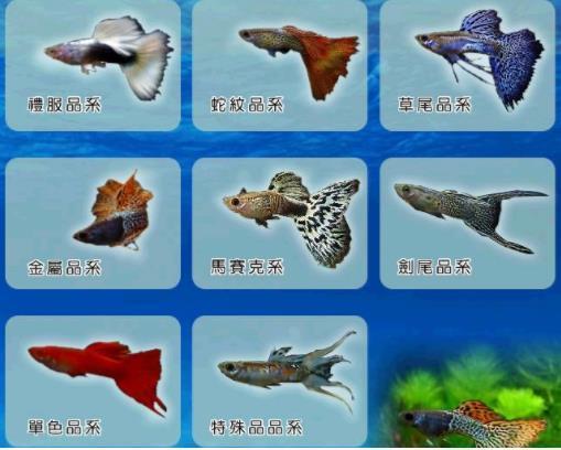 怎么选购孔雀鱼品种