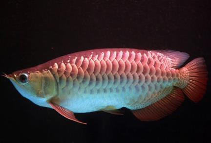 宝石龙鱼别名也叫红尾金龙鱼吗