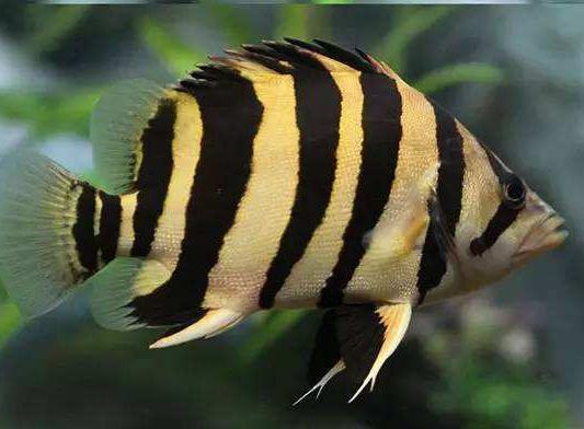 环境对虎鱼饲养有什么影响?