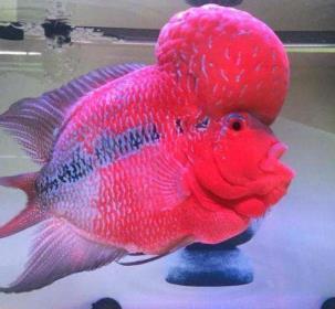 如何判定罗汉鱼的好坏