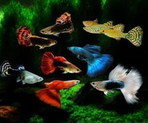 孔雀鱼需要多长时间繁殖一次?