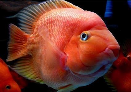 鹦鹉鱼起头有大小之分吗?
