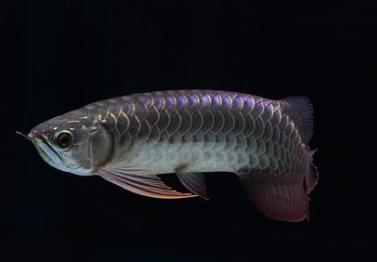 黑龙鱼价格多少钱一条?