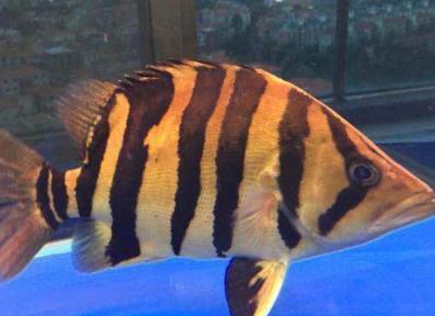 印尼虎鱼一般能够养到多大