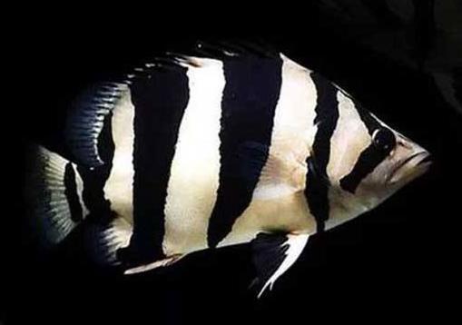 泰国虎鱼价格在哪个区间?