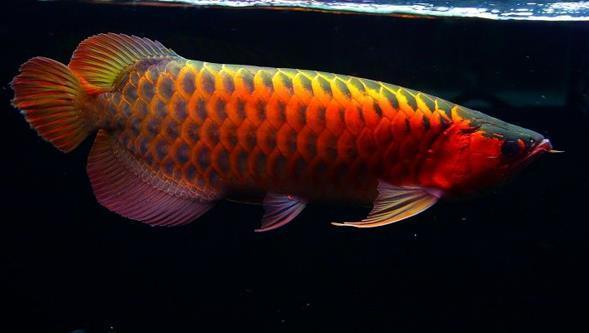 血红龙为什么比辣椒龙鱼好卖?