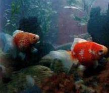 红白花珍珠金鱼养殖要注意什么?