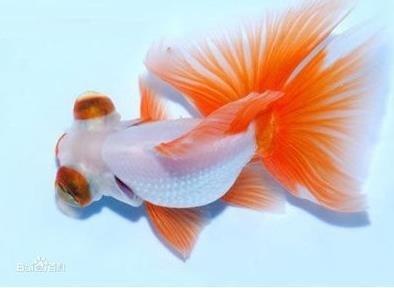 红白花龙睛繁殖方式是什么?