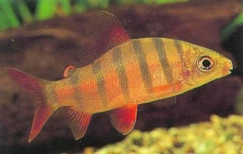 皇冠九间鱼生活习性如何?