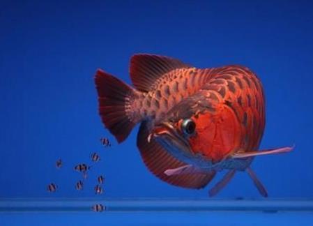 红龙鱼主要哪些品种?