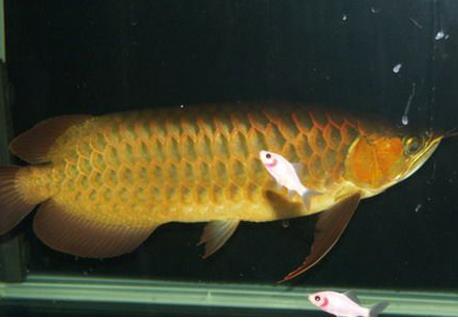 2号红龙鱼可以长到多大?
