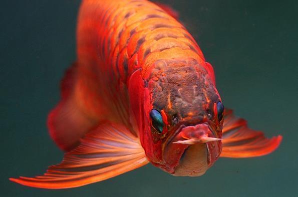 红底红龙鱼有什么特征?