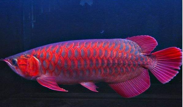 蓝底红龙鱼什么特征?