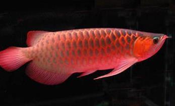 饲养红龙鱼水质什么要求?