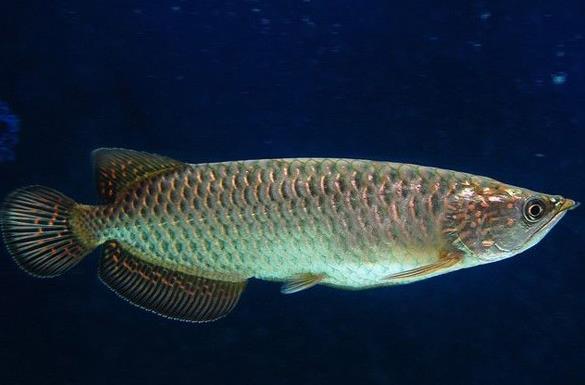 点金龙鱼也叫星点龙鱼吗?产自哪里?